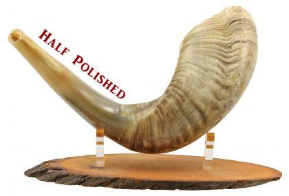 Ram's Horn Shofar  - Medium -  Half  Polished